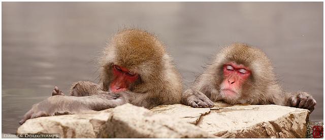 Japanese macaques in hot spring, Nagano, Japan