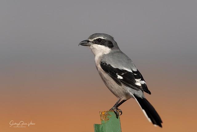 Alcaudón real / Southern grey shrike (Lanius meridionalis)