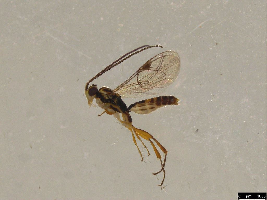 8 - Braconidae sp.