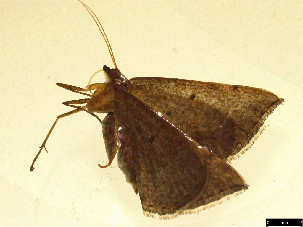 13 - Taxeotis reserata (Walker, 1860)
