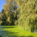 Willows over the canal at Preston