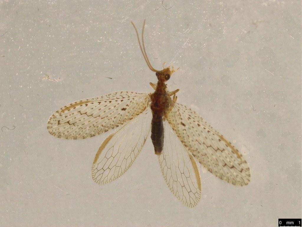 9b - Micromus tasmaniae (Walker, 1860)