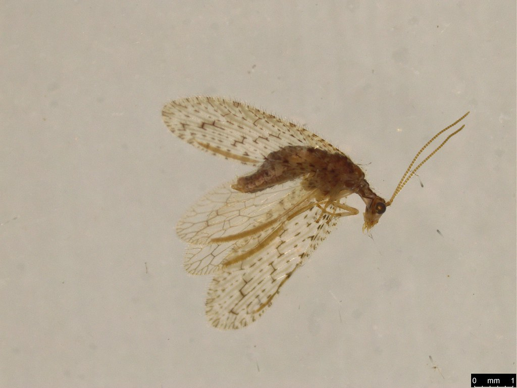 12 - Micromus tasmaniae (Walker, 1860)