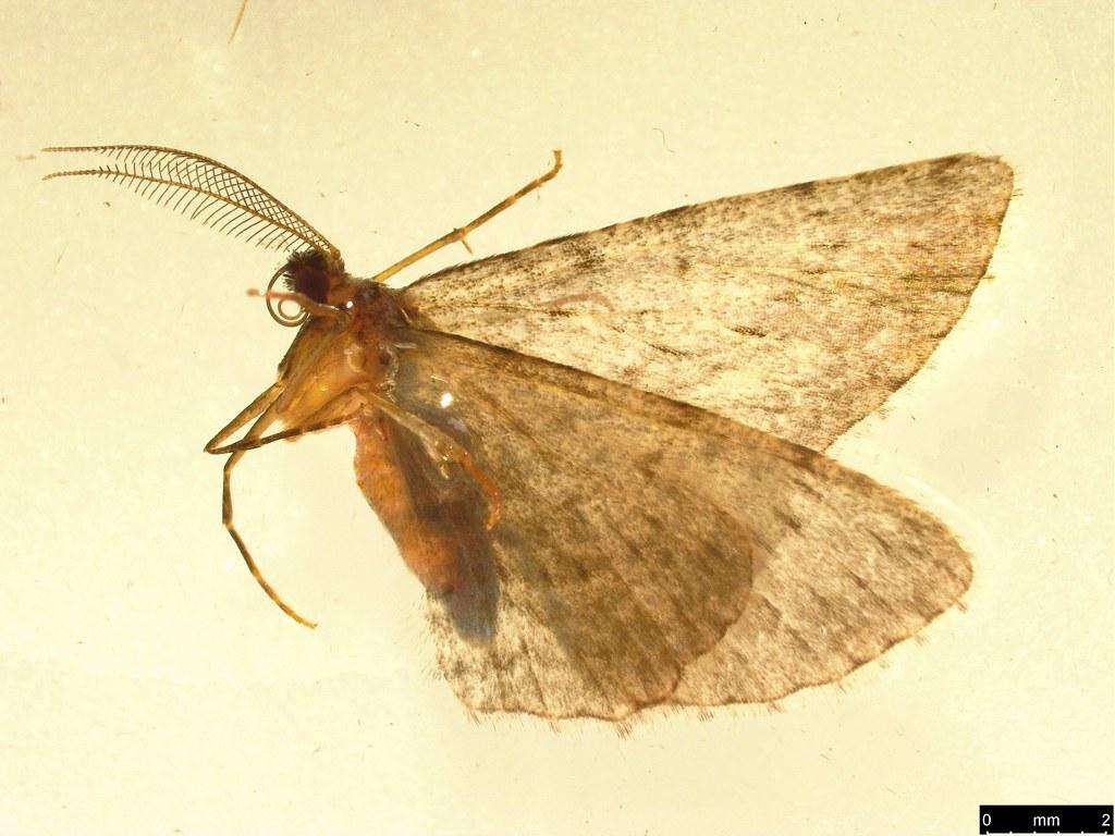 14 - Phelotis cognata (Walker, 1860)