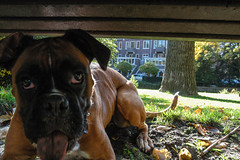 Boxer Under the Bench