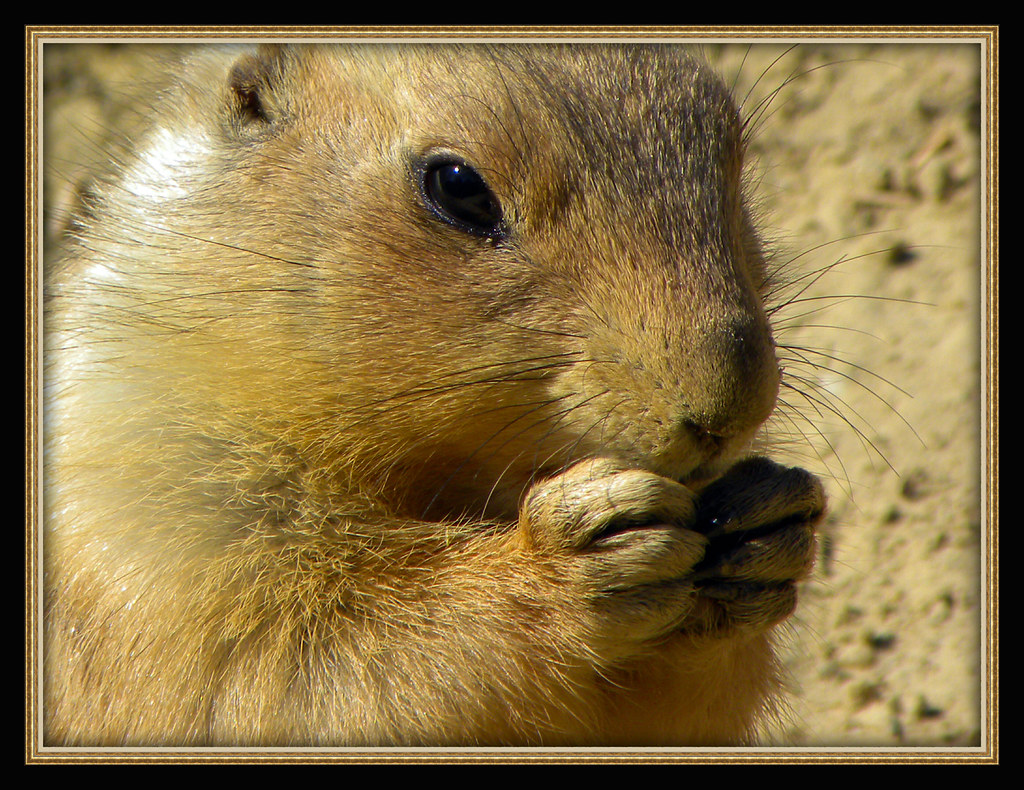 168 Prairie Dog in the former zoo in Emmen The Netherlands. (Photo made by Reinier Mensink)