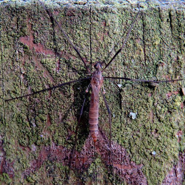 Tipula pagana, Finglandrigg Wood, 30 October 20 (1 of 2)