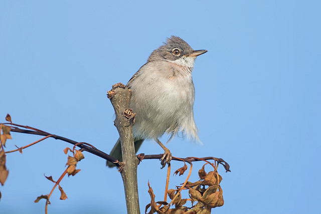 Whitethroat  m