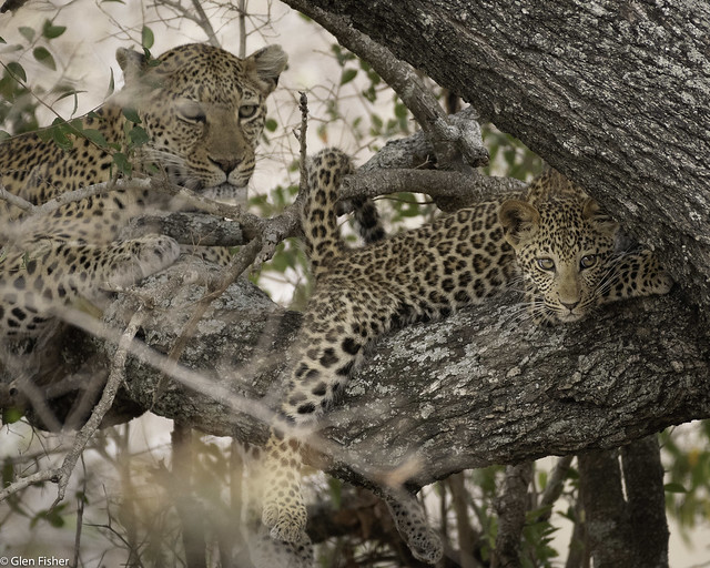 Leopard cub with mother