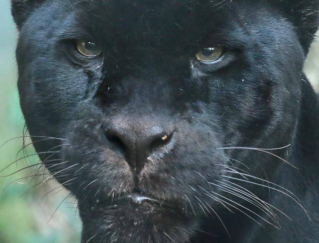 jaguar mowgli artis 094A0205