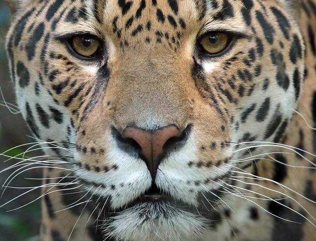 jaguar Rica  artis 094A0394