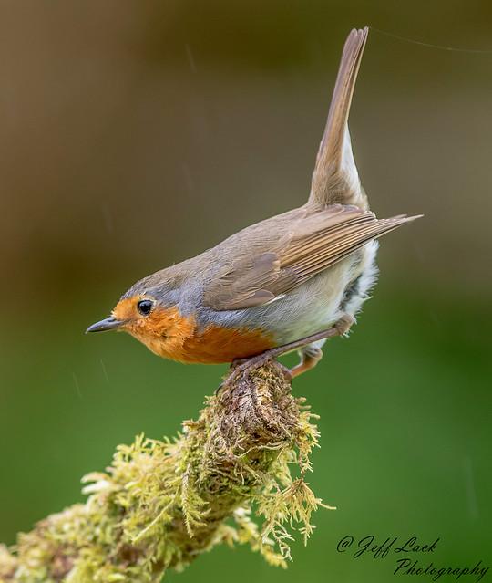 DSC0783  Robin...