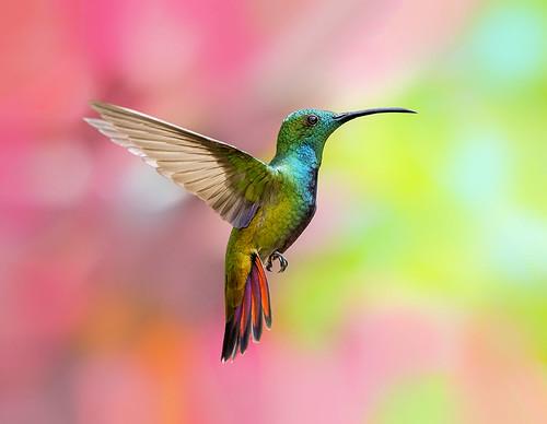 Green Throated Mango Hummingbird, @esperanzaalta, Trinidad.
