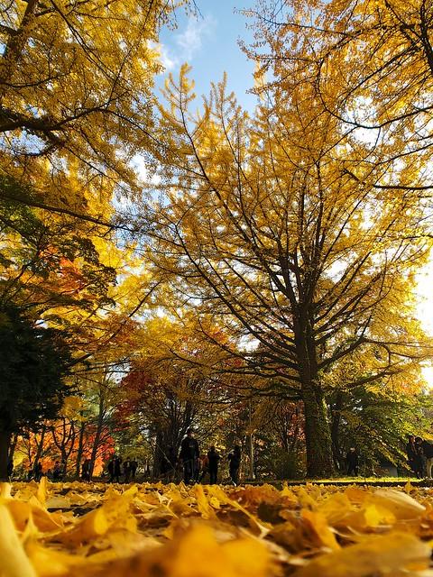 Avenue of ginkgo trees.