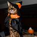 Joyeuse Halloween Félix le Bengal