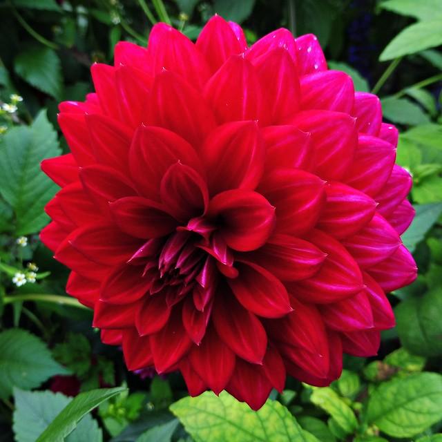 4 - Dahlia rouge