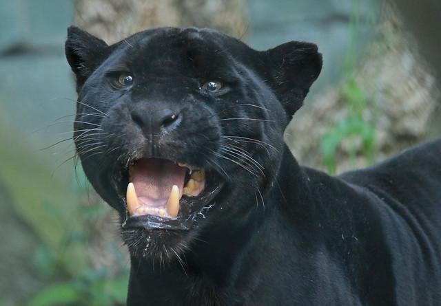 jaguar mowgli artis 094A0196