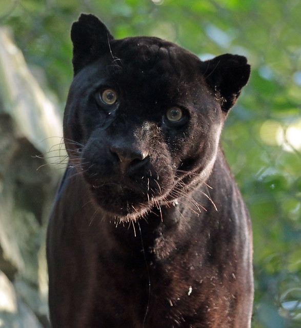 jaguar mowgli artis 094A0376