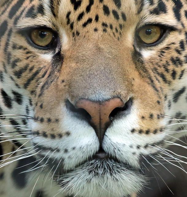 jaguar Rica  artis 094A0435