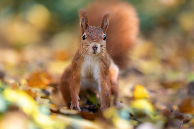 Indian summer squirrel