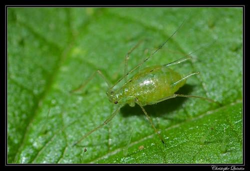 Microlophium carnosum sur Urtica dioica