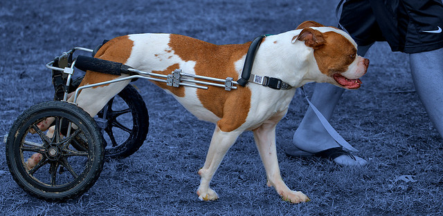Mobility For Handicapped Canine