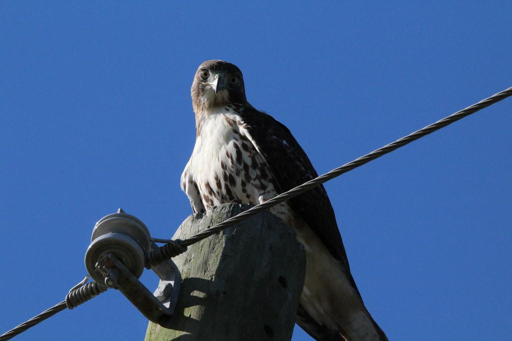 Hawk Anahauc NWR 10-20