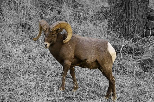 Bighorn Sheep 09 - 10-30-20