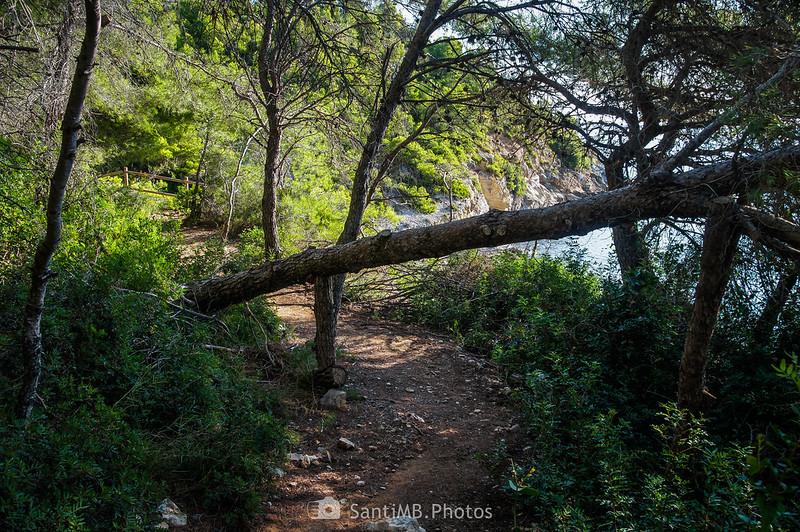 Pino caido en el GR-92 cerca de la Cala Garretes