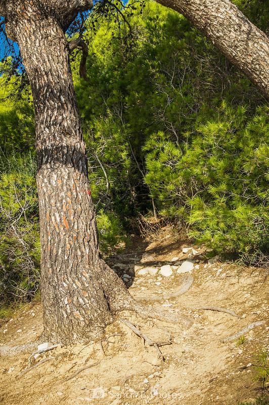 Continuación del GR-92 en el bosque de pinos cerca del Mas de Cavaller