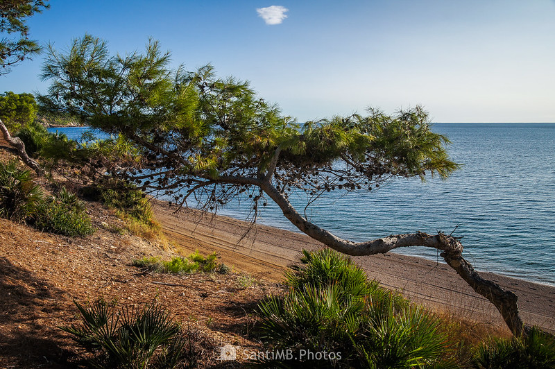 Pino junto a la playa de Santa Llúcia en El Perelló