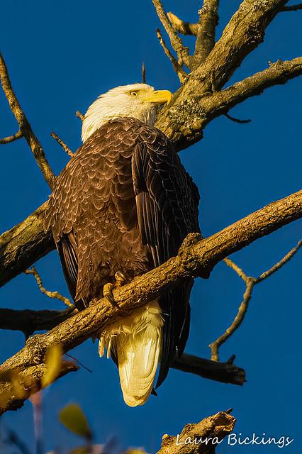 Sun Rise Bald Eagle-