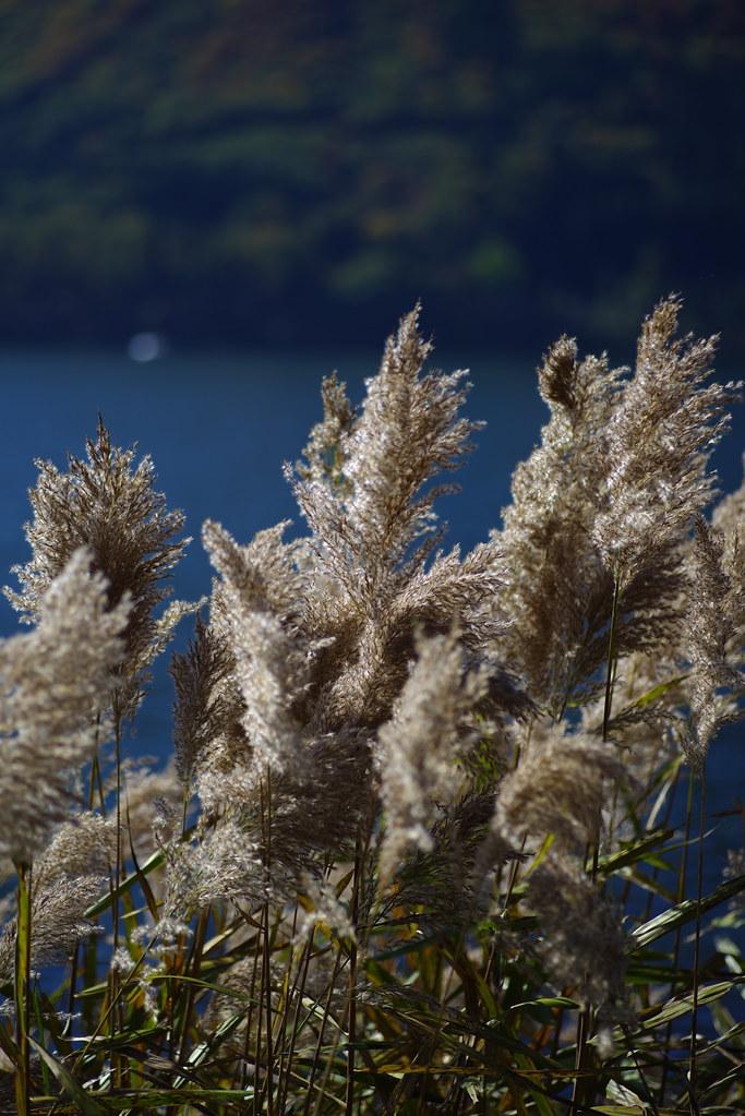 すすき:木崎湖
