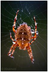Spider mkII