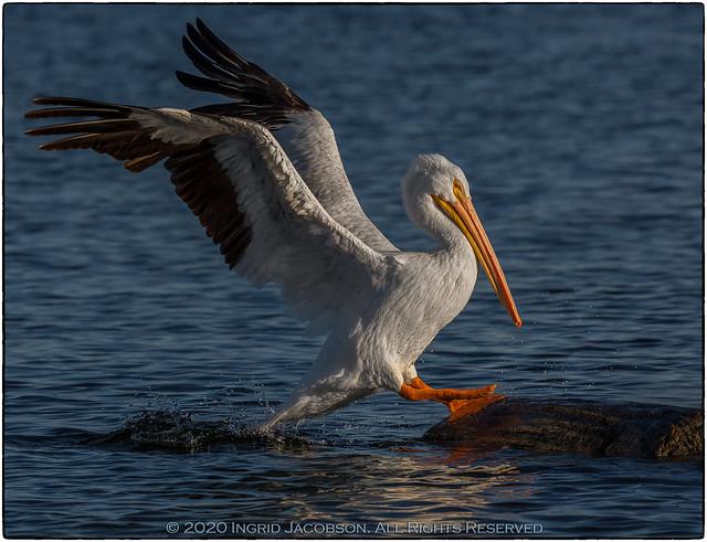 Pelican-2541