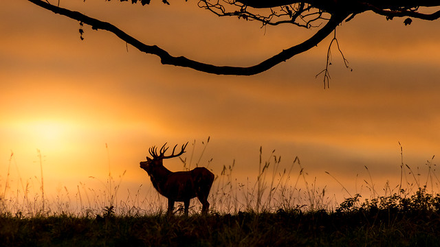 Red deer at dawn