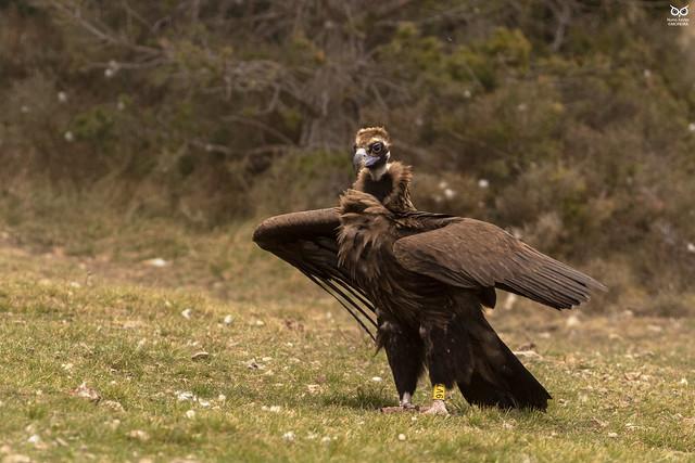 Abutre Preto, Black Vulture (Aegypius monachus)
