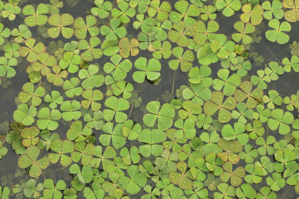 Марсилия четырехлистная (Marsilea quadrifolia)