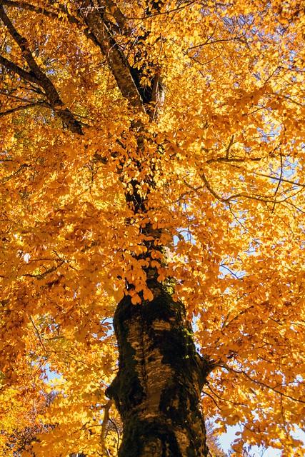 Beech Tree - Faggio