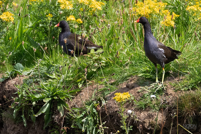 Moorhens, Male & Female, Gallinula chloropus