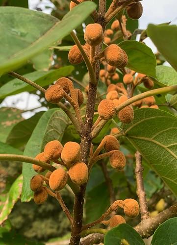 Paulownia tomentosa (Bonaval)