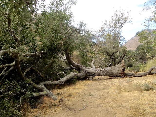 goodbye to the beautiful Solstice Canyon oak