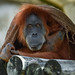"<p><a href=""https://www.flickr.com/people/154721682@N04/"">Joseph Deems</a> posted a photo:</p>  <p><a href=""https://www.flickr.com/photos/154721682@N04/50555763217/"" title=""Orangutan""><img src=""https://live.staticflickr.com/65535/50555763217_759044fafc_m.jpg"" width=""240"" height=""220"" alt=""Orangutan"" /></a></p>  <p>Fort Worth Zoo</p>"