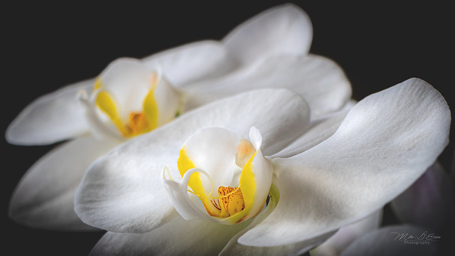 Moon Orchids