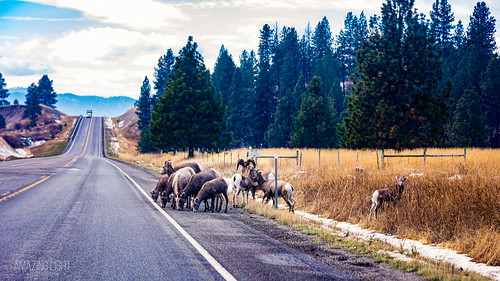 afternoon animals autumn bighorn black blue brown clouds day faded fall field forest gold grass green grey horizontal landscape magenta montana nature orange outdoor outdoors overcast plants rustic sheep street tan teal tourism travel trees white wildlife yellow