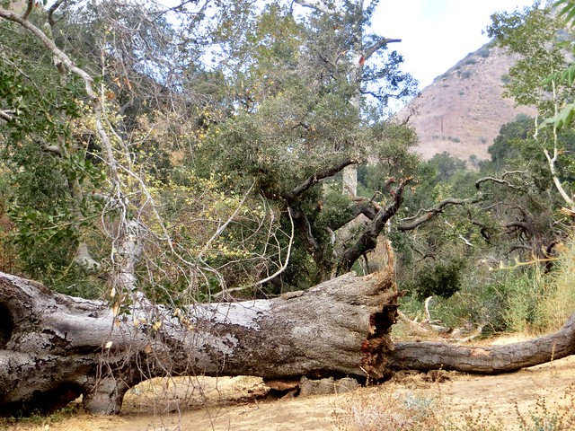 the fire won against the beautiful Solstice Canyon oak
