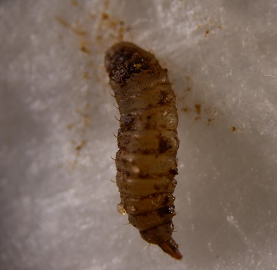 Pachygaster leachii