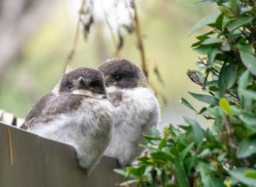 Baby butcherbirds Cracticus torquatus