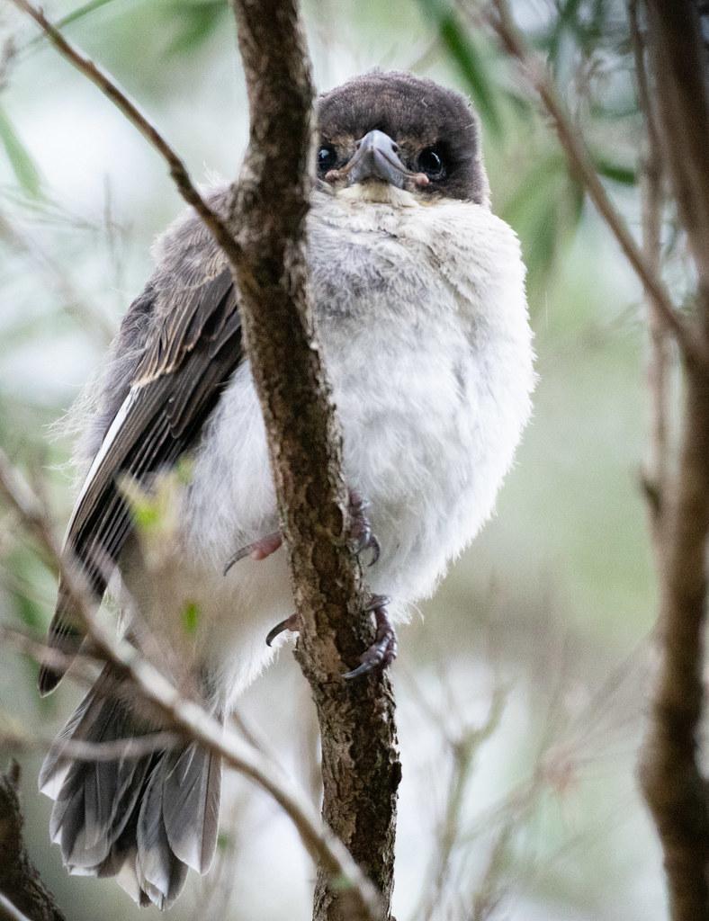 Baby butcherbird Cracticus torquatus