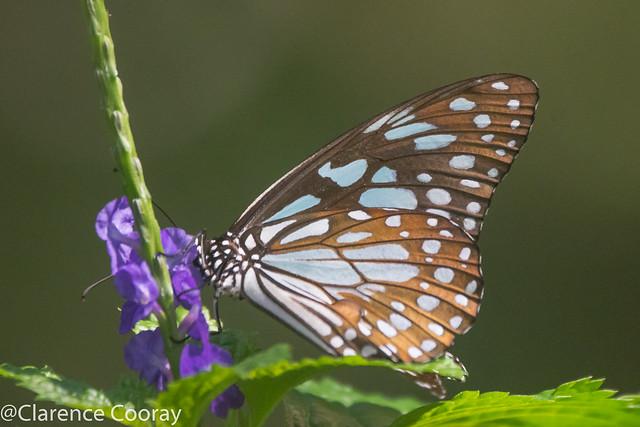 DSC_5189 (Blue Tiger)